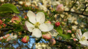 Apple Blossoms - April, 2017